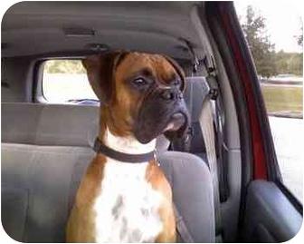 Boxer Dog for adoption in Navarre, Florida - Sawyer