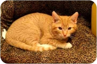 Domestic Shorthair Kitten for adoption in Walker, Michigan - Splash
