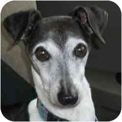 Italian Greyhound Dog for adoption in Argyle, Texas - Marco in Lumberton