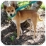 Photo 3 - Chihuahua Mix Dog for adoption in Sugar Land, Texas - Ceaser