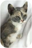 Calico Kitten for adoption in Westport, Connecticut - Kittens