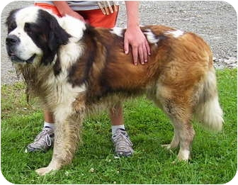 St. Bernard Dog for adoption in Somerset, Pennsylvania - Bernie
