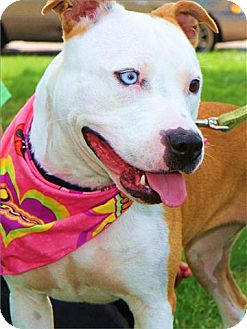 American Pit Bull Terrier/Husky Mix Dog for adoption in Freeport, New York - Ruby Blue