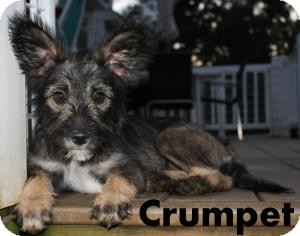 Schnauzer (Miniature)/Poodle (Toy or Tea Cup) Mix Dog for adoption in New Jersey, New Jersey - NJ - Crumpet