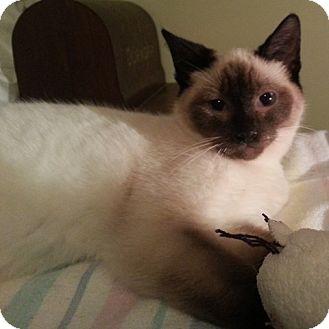 Domestic Shorthair Kitten for adoption in Toronto, Ontario - Adelaide