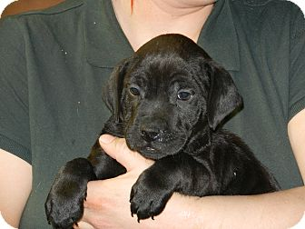 Labrador Retriever Mix Puppy for adoption in South Jersey, New Jersey - Vinnie