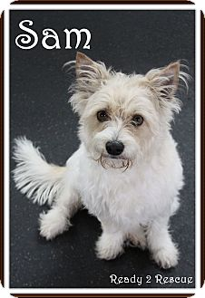 Westie, West Highland White Terrier/Terrier (Unknown Type, Small) Mix Dog for adoption in Rockwall, Texas - Sam