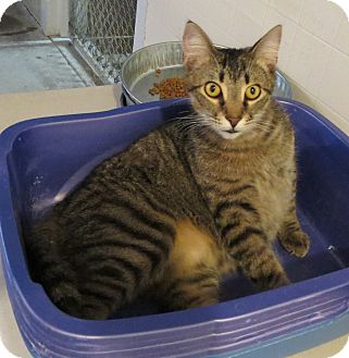 Domestic Shorthair Cat for adoption in Geneseo, Illinois - Brownie
