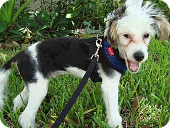 Chinese Crested/Poodle (Toy or Tea Cup) Mix Puppy for adoption in Fort Lauderdale, Florida - Mingo