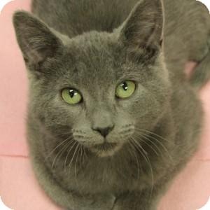 Domestic Shorthair Kitten for adoption in Naperville, Illinois - Kasey