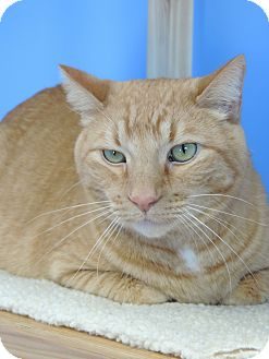 Domestic Shorthair Cat for adoption in Brookings, South Dakota - Garfield