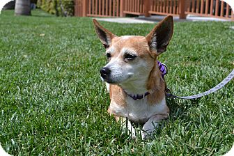 Chihuahua Mix Dog for adoption in Los Angeles, California - June Bug