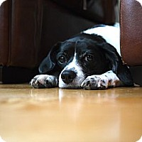 Adopt A Pet :: Jackson - Wilmette, IL