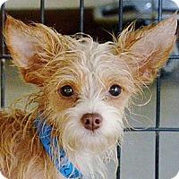 Adopt A Pet :: Tanto - Encinitas, CA