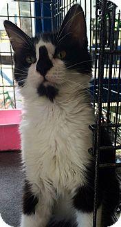 Maine Coon Kitten for adoption in Santa Monica, California - Randall