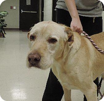 Labrador Retriever Mix Dog for adoption in Sioux City, Iowa - BRUNO