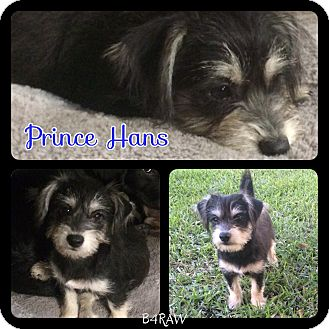 Schnauzer (Miniature) Mix Puppy for adoption in El Campo, Texas - Prince Hans