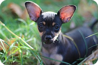 Dachshund/Chihuahua Mix Puppy for adoption in Auburn, California - Minnie Mouse
