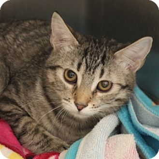 Domestic Shorthair Kitten for adoption in Naperville, Illinois - Tammy