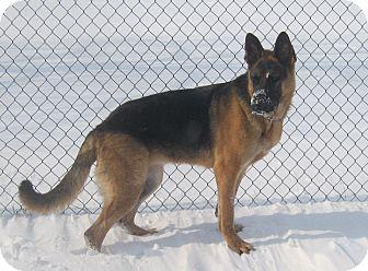 German Shepherd Dog Dog for adoption in Rigaud, Quebec - Skye