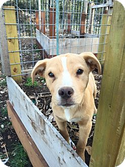 Labrador Retriever/Pit Bull Terrier Mix Puppy for adoption in Austin, Texas - Winston
