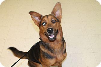 Husky/Shepherd (Unknown Type) Mix Dog for adoption in Pittsburg, Kansas - Sky