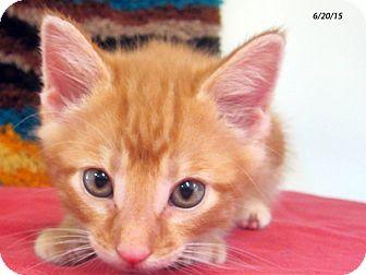 Domestic Shorthair Kitten for adoption in Republic, Washington - Lobster