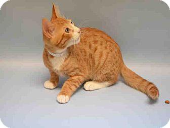 Domestic Shorthair Kitten for adoption in Old Bridge, New Jersey - Fry the Wonder Kitten!