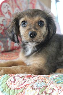 Golden Retriever/Labrador Retriever Mix Puppy for adoption in Hagerstown, Maryland - Pennsatucky
