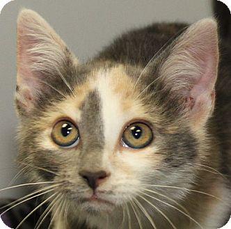 Domestic Shorthair Kitten for adoption in Staunton, Virginia - Lola