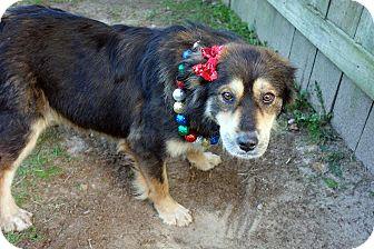 German Shepherd Dog/Collie Mix Dog for adoption in Darlington, South Carolina - Pocahontas
