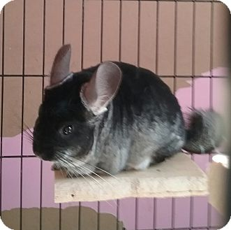 Chinchilla for adoption in Granby, Connecticut - Felix