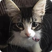 Adopt A Pet :: BellaL - North Highlands, CA