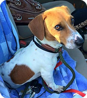 Dachshund Dog for adoption in Andalusia, Pennsylvania - Tyler
