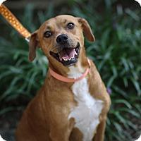 Adopt A Pet :: Bella - Tallahassee, FL
