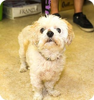 Shih Tzu Mix Dog for adoption in Seville, Ohio - Coco