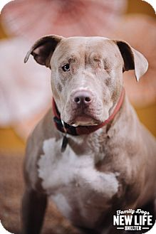 Pit Bull Terrier Dog for adoption in Portland, Oregon - Portia