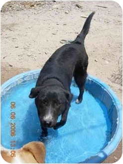Labrador Retriever/Border Collie Mix Dog for adoption in Thatcher, Arizona - Ruby