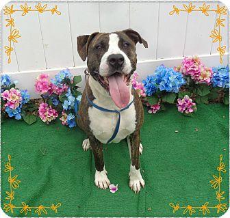 American Bulldog Mix Dog for adoption in Marietta, Georgia - AGGIE