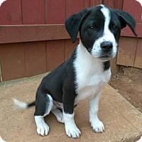 Adopt A Pet :: Benny - Lawrenceville, GA
