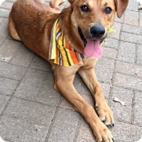 Adopt A Pet :: RED so handsome - plano, TX