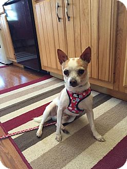 Chihuahua Mix Dog for adoption in Rexford, New York - Hoss