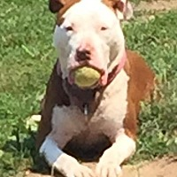 Adopt A Pet :: Honey - Freeport, NY