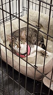 American Shorthair Cat for adoption in Albemarle, North Carolina - Victoria