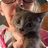 Adopt A Pet :: Brad - Geneseo, IL
