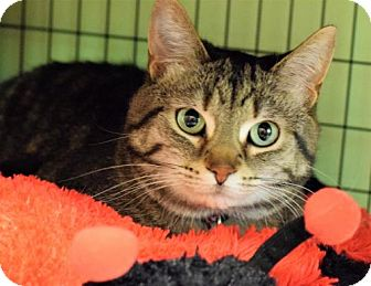 Domestic Shorthair Cat for adoption in Negaunee, Michigan - Cookie