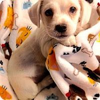 Adopt A Pet :: !  2 Auzzie - Colton, CA