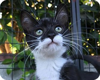 Domestic Shorthair Kitten for adoption in Los Angeles, California - Foozle