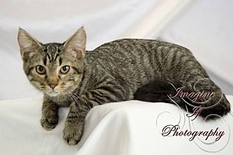 Domestic Shorthair Kitten for adoption in Hinton, Oklahoma - Arnold