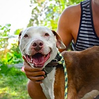 American Staffordshire Terrier Mix Dog for adoption in Denver, Colorado - Champion